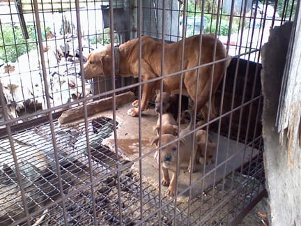 korean dog meat farm puppy rescue