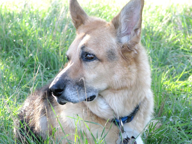 Bone Cancer Dog Jerry Outlives Vet Prognosis