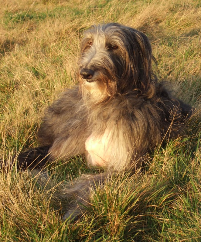 darcydeerhound.jpg