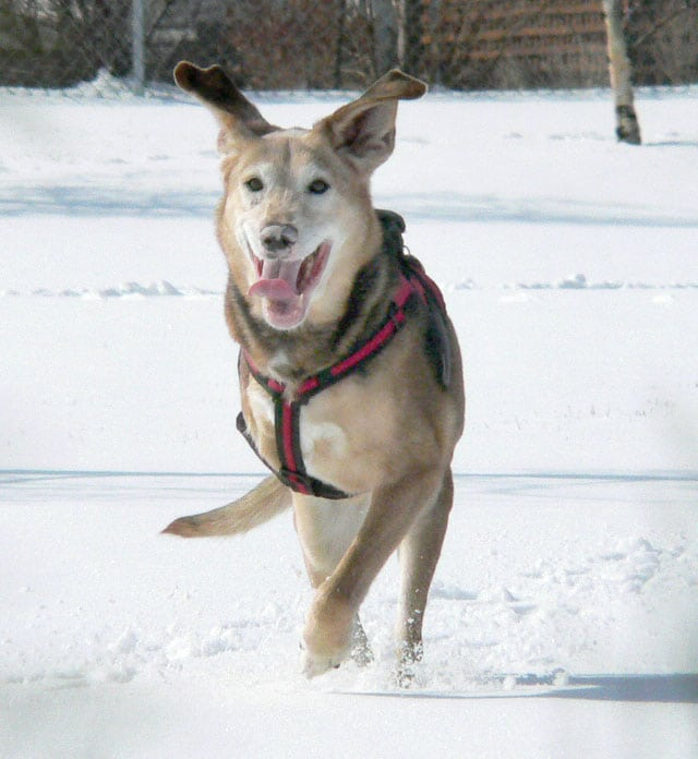 Three legged Genie Dog Runs in Snow