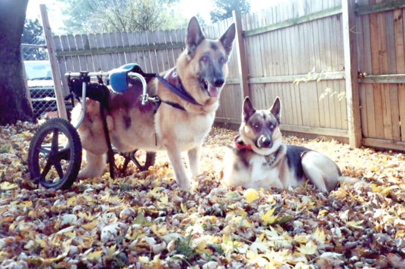 Handicapped German Shepherd Dogs Sheba and Trouble